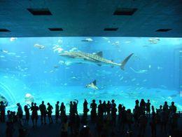 優雅に泳ぐジンベエザメ写真