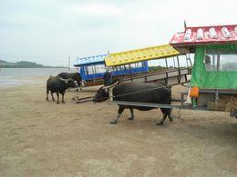屋根付き二輪車を曳く水牛写真