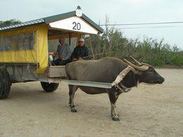 のんびりと水牛車に揺られて。写真